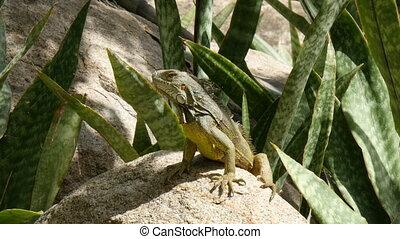 iguana warming up in the sun