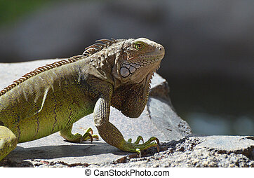 Iguana with Long Claws on a Rock