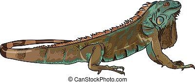 iguanidae - The large greenish coloration iguana on a white...