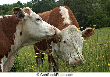 ii, commérage, vache
