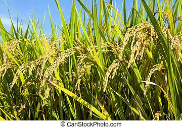 ii, pole, ryż