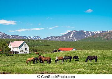 ijslands, boerderij, met, paarden