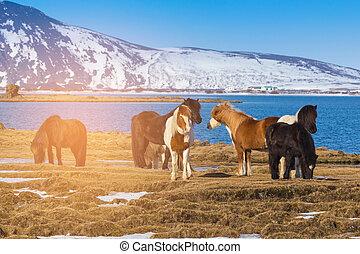 ijslands, boerderij, paarden, op, droog, gras, met, tonen, berg