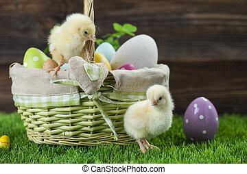 ikra, mindenfelé, csibék, vödör, fiatal, húsvét