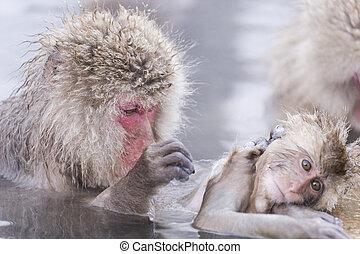 il bagnarsi, scimmia, hotspring, jigokudani, onsen, neve,...