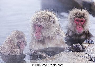il bagnarsi, scimmia, hotspring, jigokudani, onsen, neve, ...