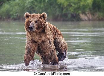 il, orso marrone, pesci