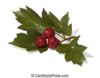 il, ramo, di, biancospino, con, frutte, è, isolato