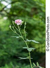 il, rosa, fata, rosa, flower.