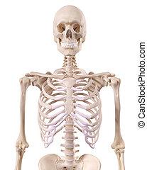 il, scheletrico, torace