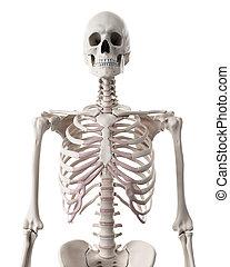il, sistema scheletrico, -, il, torace