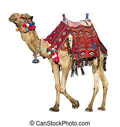 il, solitario, domestico, cammello, su, white.
