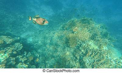 il, subacqueo, mondo, di, il, rosso, sea., marsa, alam