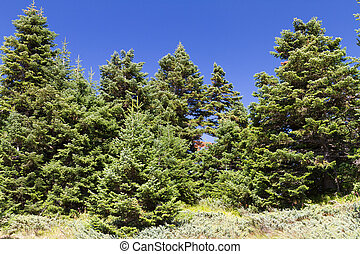 Ilgaz Mountain Pine Forest, Kastamonu, Turkey