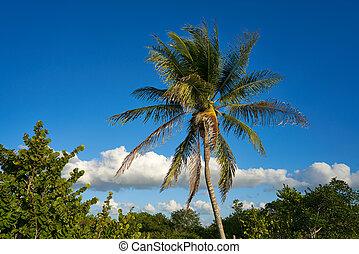 ilha holbox, árvore palma, praia, em, méxico