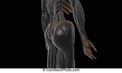 Iliacus Muscle Anatomy For Medical Concept 3D Illustration