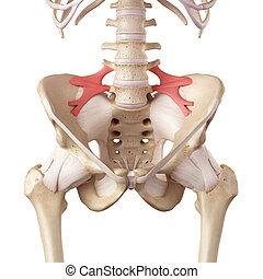 iliolumbar, ligamento