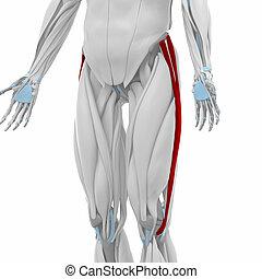 Iliotibial tract - Muscles anatomy map