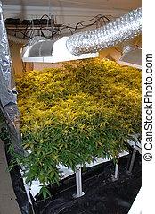 illégal, usine, cannabis
