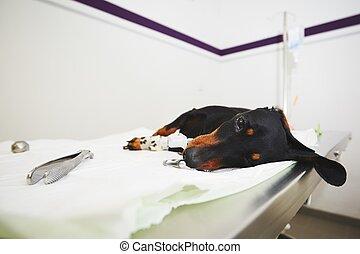 Ill dog in the veterinary clinic