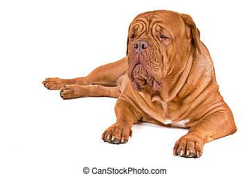 illeték, nagy, kutya