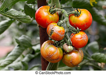 illness tomato  - branch of illness tomato