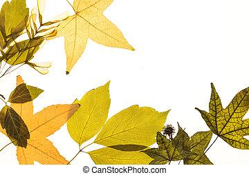 Herbarium Blätter illuminated herbarium of acer negundo seeds and leaves stock