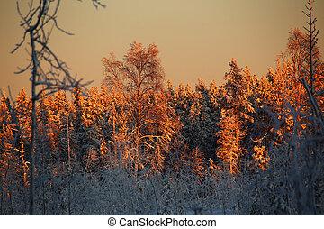 Illuminated treetops in an orange sunset in northern Sweden