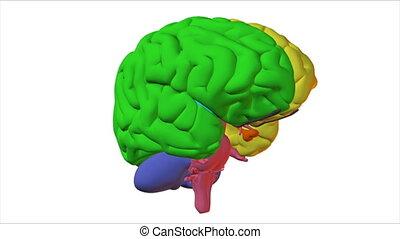 illustré, cerveau, humain
