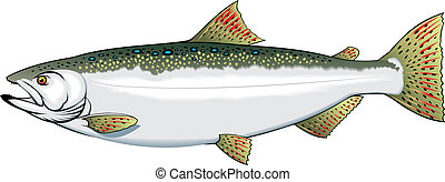 nice trout - illustrated nice trout isolated on white...