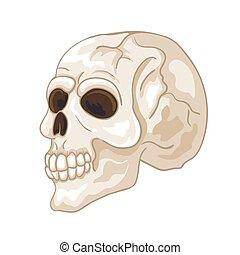 illustratie, menselijke schedel