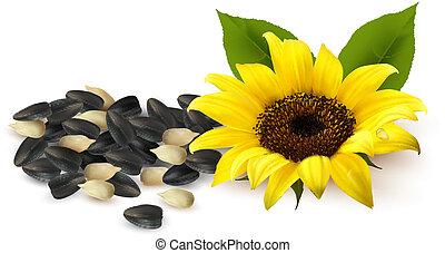 illustration., ひまわり, seeds., 黄色, ベクトル, ひまわり, 背景