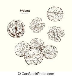 illustration., ベクトル, クルミ, 手, 引かれる, インク, set., nuts., スケッチ