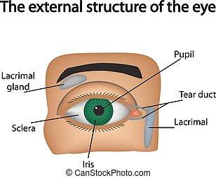 illustration.., ベクトル, 外部である, 構造, eye.