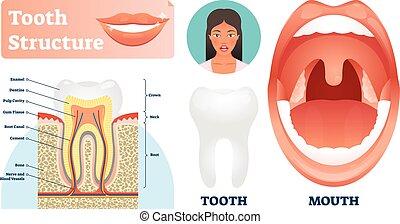 illustration., 健康, 医学, 歯, ラベルをはられた, ベクトル, 構造, 歯, scheme.