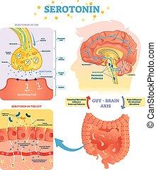 illustration., 図, 脳, ラベルをはられた, ベクトル, serototin, 消化器官, cns.,...