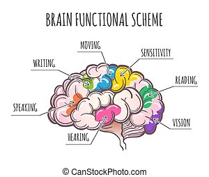 illustration., 機能, 脳, ベクトル, 人間, scheme.