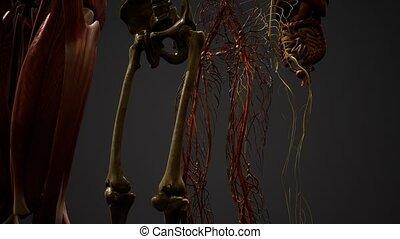 illustration, anatomie, animé, 3d, humain
