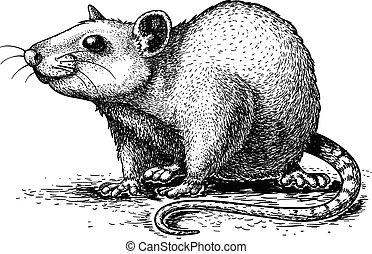 illustration, av, gravyr, råtta