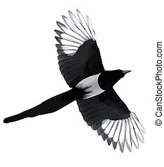 illustration black magpie - Illustration black...