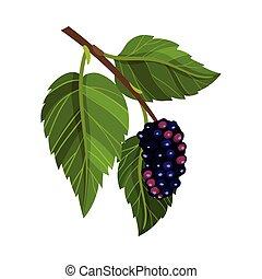 illustration, blad, fully, vektor, moden, branch, mulberry, ...