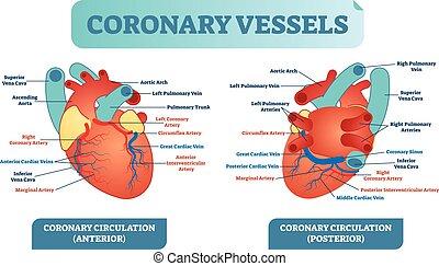 illustration, coeur, diagram., couler, système, vaisseaux, anatomique, étiqueté, vecteur, santé, vaisseau sanguin, coronaire, scheme., soin