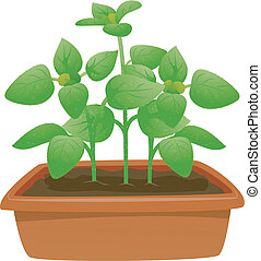 Potted Oregano - Illustration Featuring a Potted Oregano