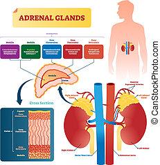 illustration., glándulas, rotulado, vector, hormonas, suprarrenal, esquema, tipos