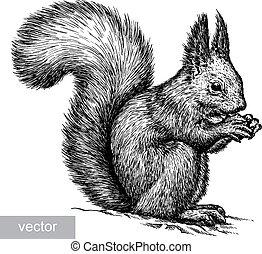 illustration, graver, écureuil