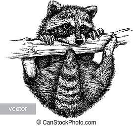 illustration, graver, raton laveur