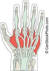 illustration, hand, anatomi, vektor, mänsklig, knotor