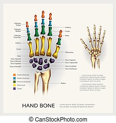 illustration, hand, anatomi, vektor, mänskligt ben