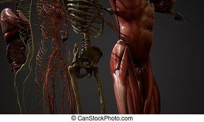 illustration, humain, animé, 3d, anatomie