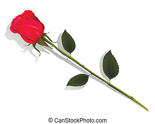 illustration insulated flower of the red rose on white background